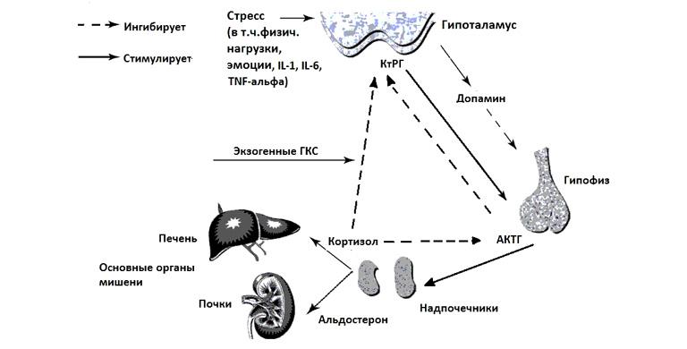 Гіперадренокортицизм з точки зору дерматолога