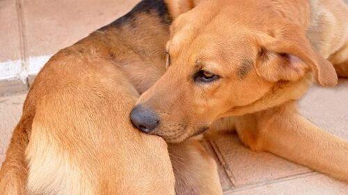 у собаки сильный зуд