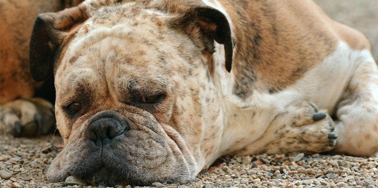 вирусные заболевания собак