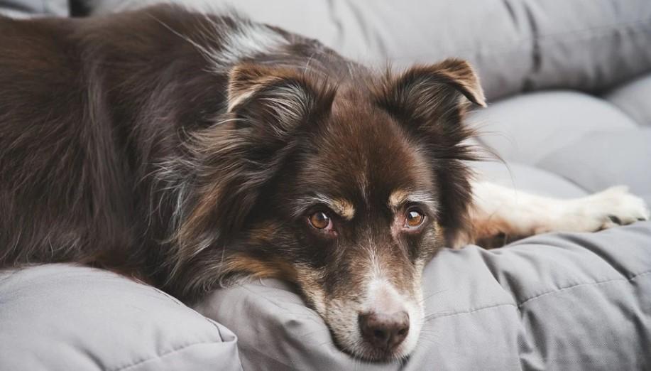 прогноз собак с синдромом кушинга